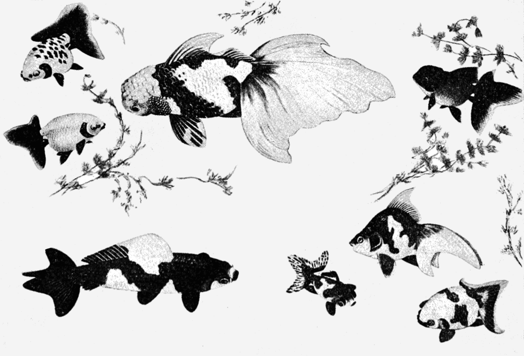 Black and white illustration of Japanese goldfish